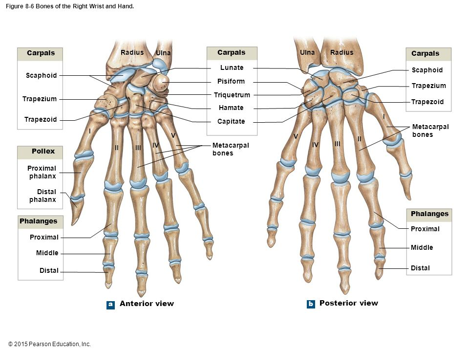 Attractive Wrist And Hand Bones Images - Human Anatomy Images ...