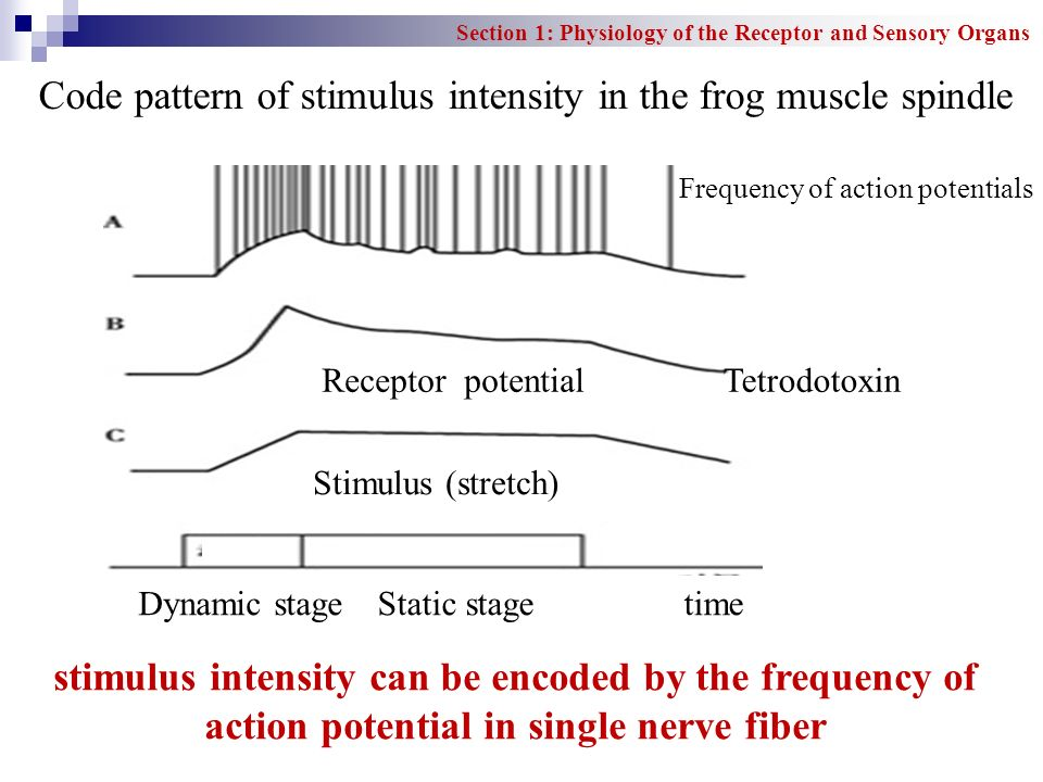 Code pattern of stimulus intensity in the frog muscle spindle