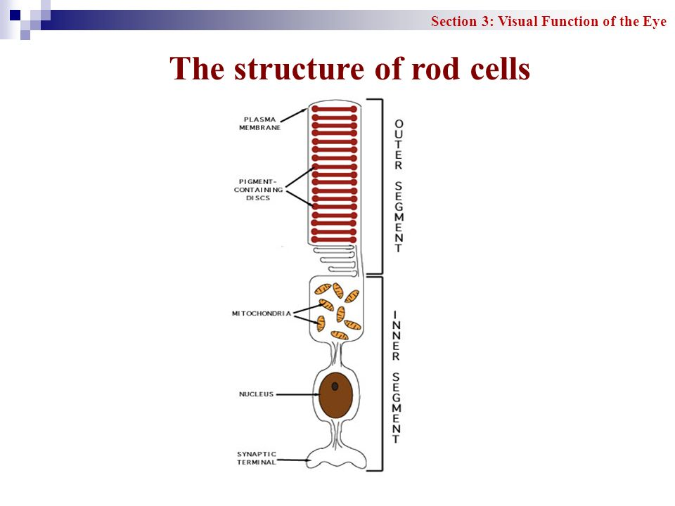 The structure of rod cells