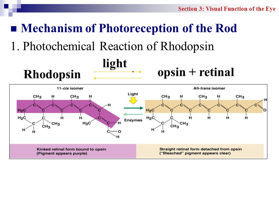 Mechanism of Photoreception of the Rod