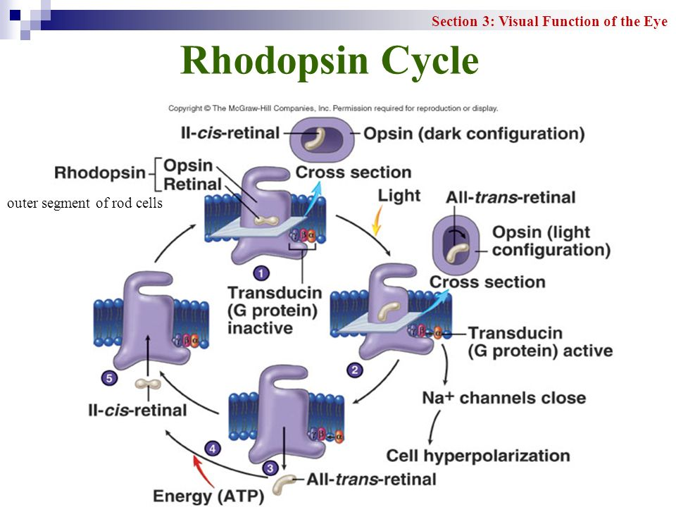 Rhodopsin Cycle Section 3: Visual Function of the Eye