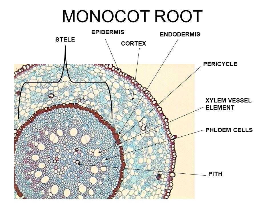 dicot leaf upper epidermis cuticle palisade parenchyma