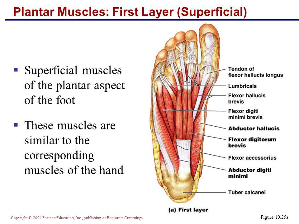 Mri foot anatomy