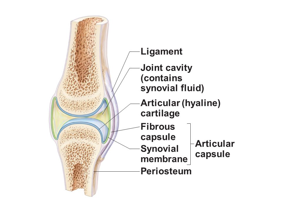 Figure 83 General Structure Of A Synovial Joint Ppt Video Online