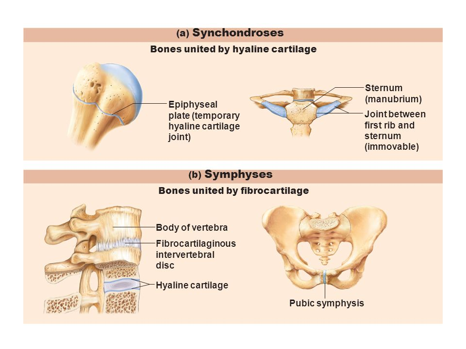 What Are Some Examples Of Cartilaginous Joints Socratic Hyaline cartilage is a type of connective tissue found in areas such as the nose, ears, and trachea of the human body. socratic