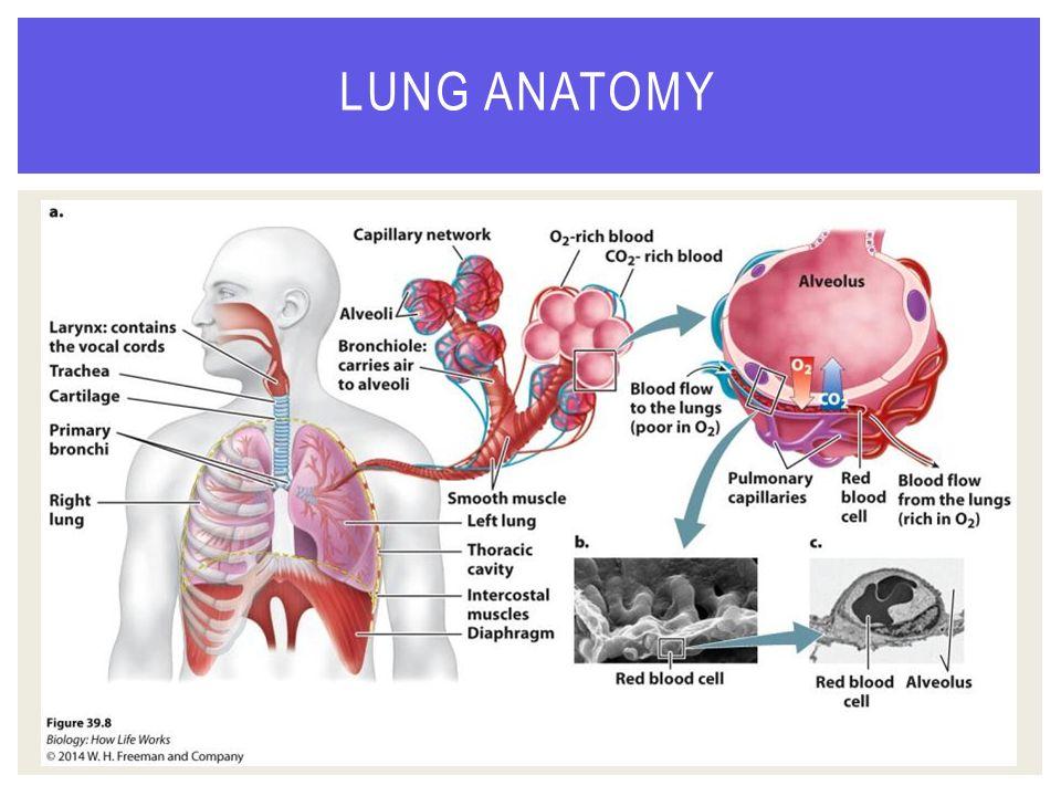 Lung anatomy ppt