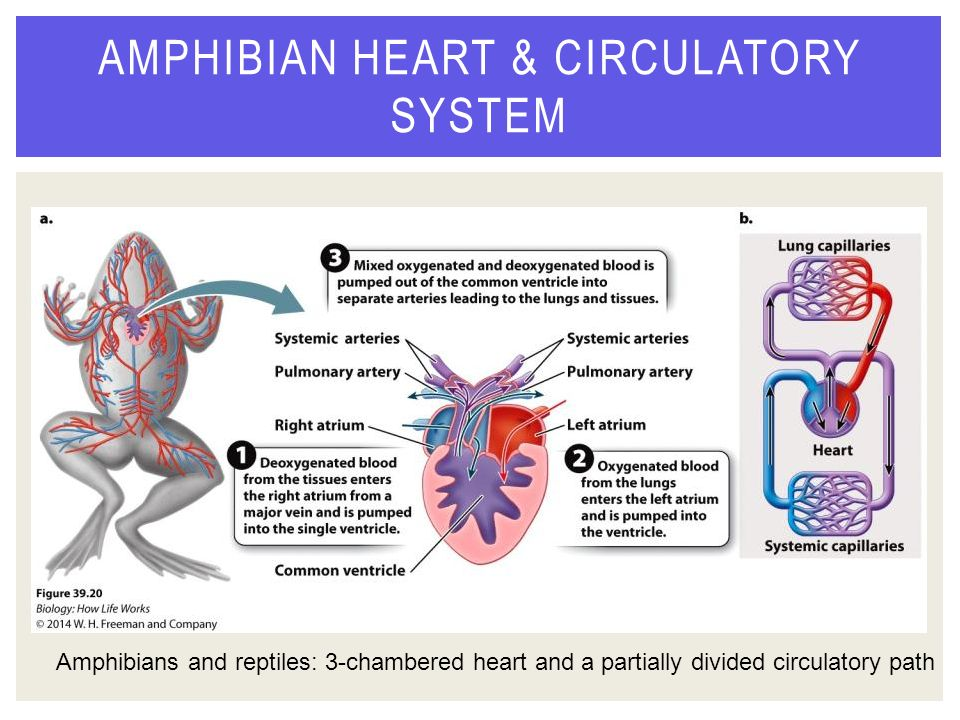 circulatory system of amphibians There is individual variation, however, in the circulatory system concerning  phylogeny, or evolutionary development, the systems of fish, amphibians, reptiles ,.