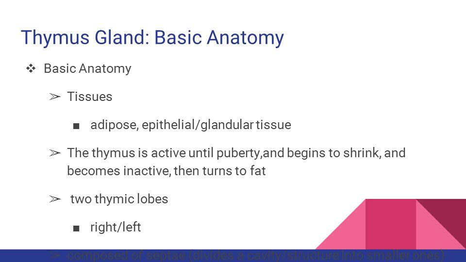 Thymus gland anatomy