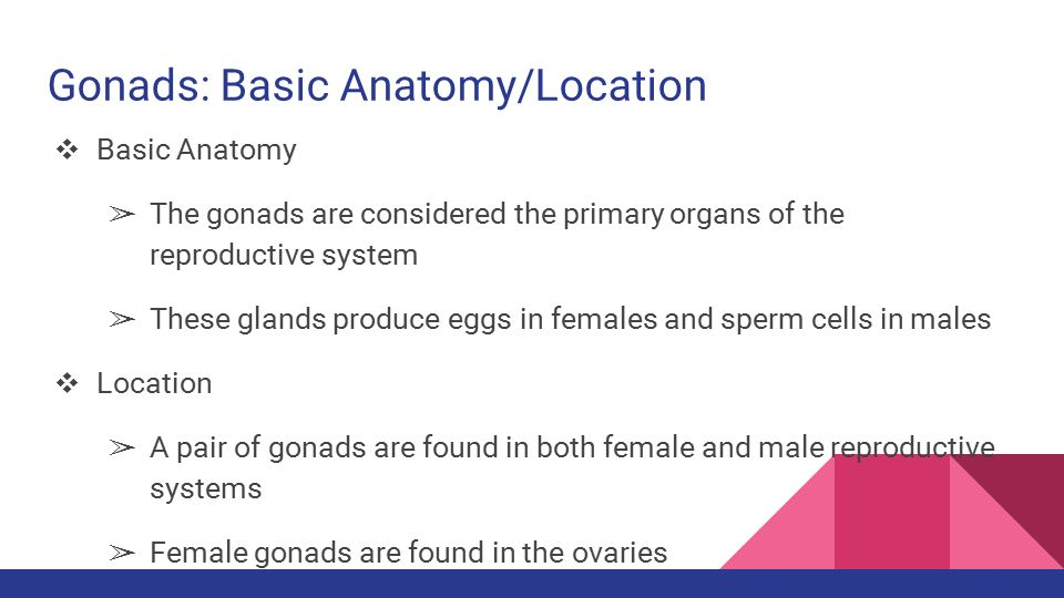 The Anatomy/Physiology of the Gonad, Pineal, and Thymus Glands - ppt ...