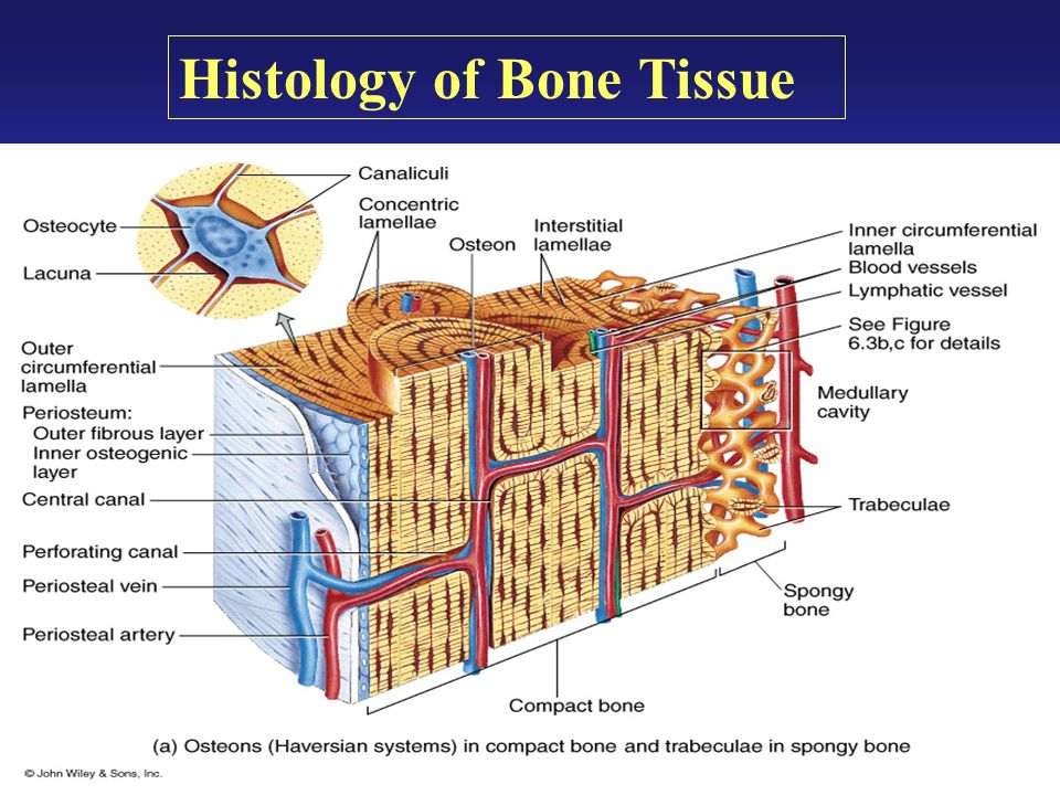 is bone a connective tissue Connective tissues and their matrix components make up a large  also plays  an important role in attaching tendons and ligaments to bone.