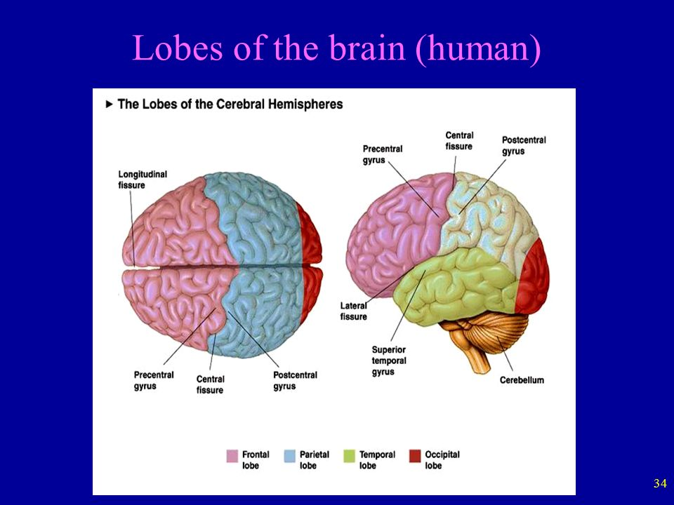 hemispheres of the brain Our interactive diagram helps you explore the anatomy of the human brain a band of white matter called the corpus callosum connects the left and right hemispheres.