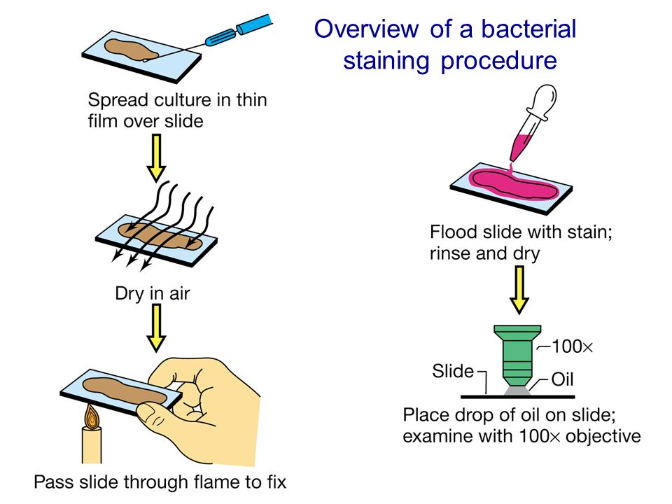 microbial survey smear preparation and simple To prepare a wet mount slide you begin with the substance at hand the specimens studied in the laboratory using this type of slide were a hay infusion, a yeast suspension, and the mold specimen.