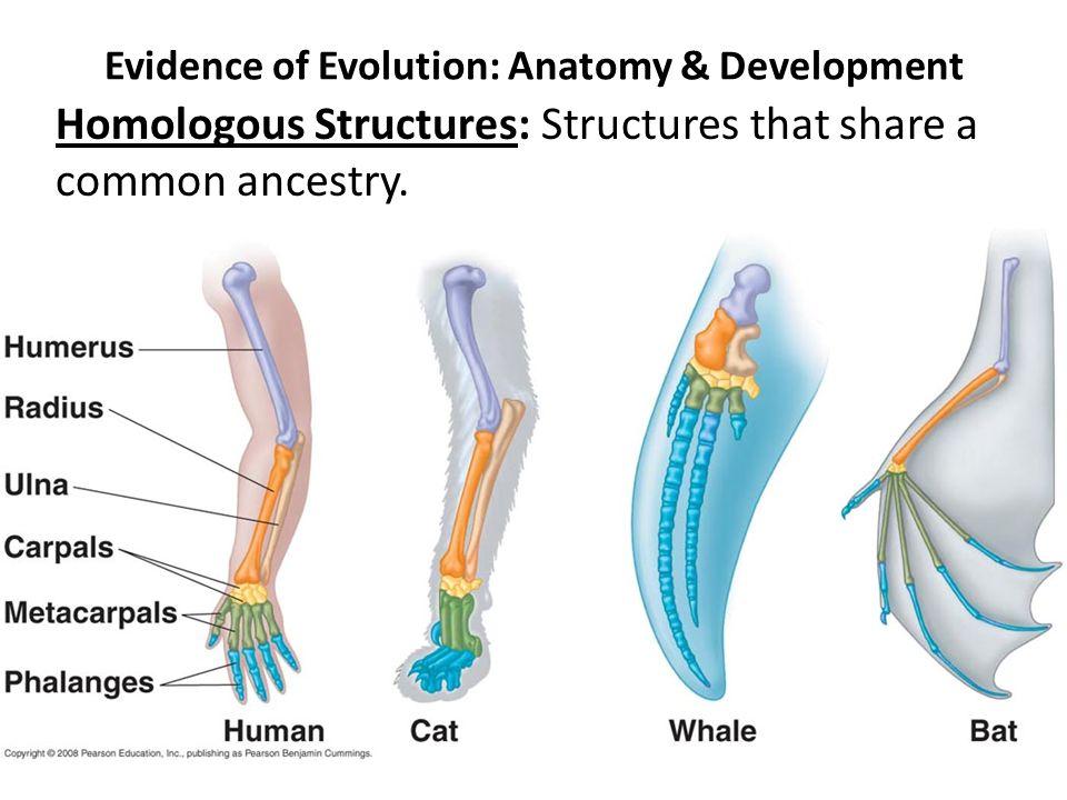 Evidence of evolution in anatomy