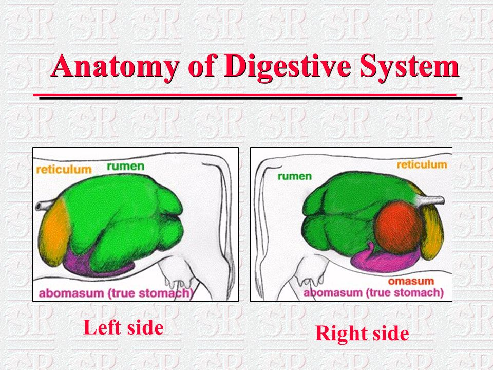 digestive system of mammals