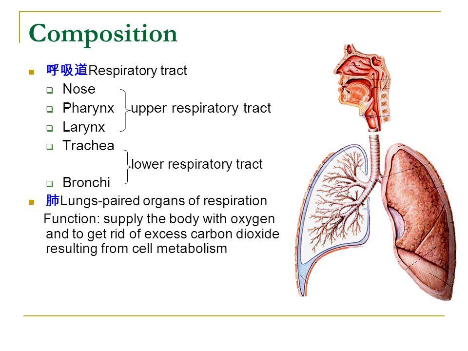Composition Nose Pharynx Upper Respiratory Tract Larynx Trachea
