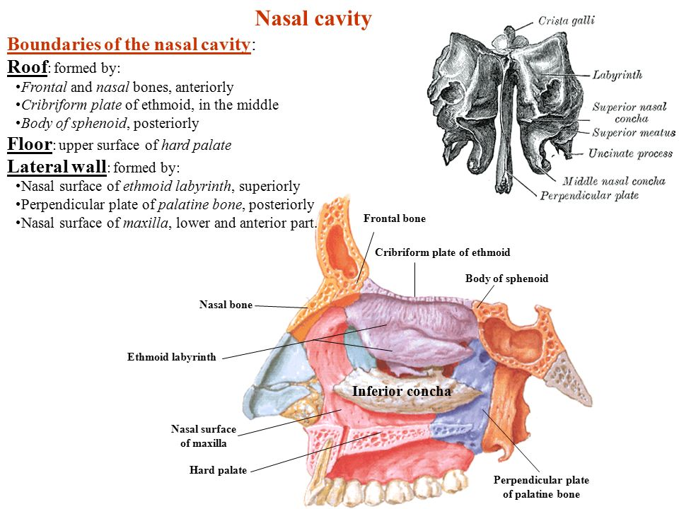 Nasal Cavity Boundaries Of The Nasal Cavity: Roof: Formed By: