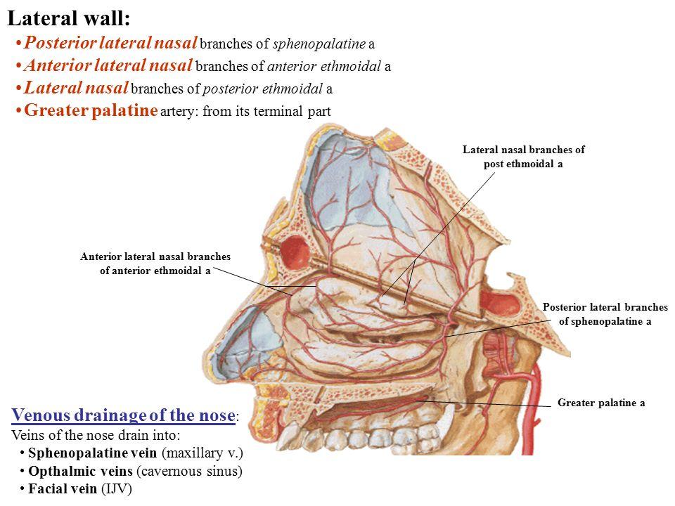 Nasal cavity Boundaries of the nasal cavity: Roof: formed ...  Nasal cavity Bo...