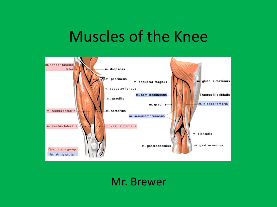 muscles of the knee mr. brewer. - ppt video online download, Human Body