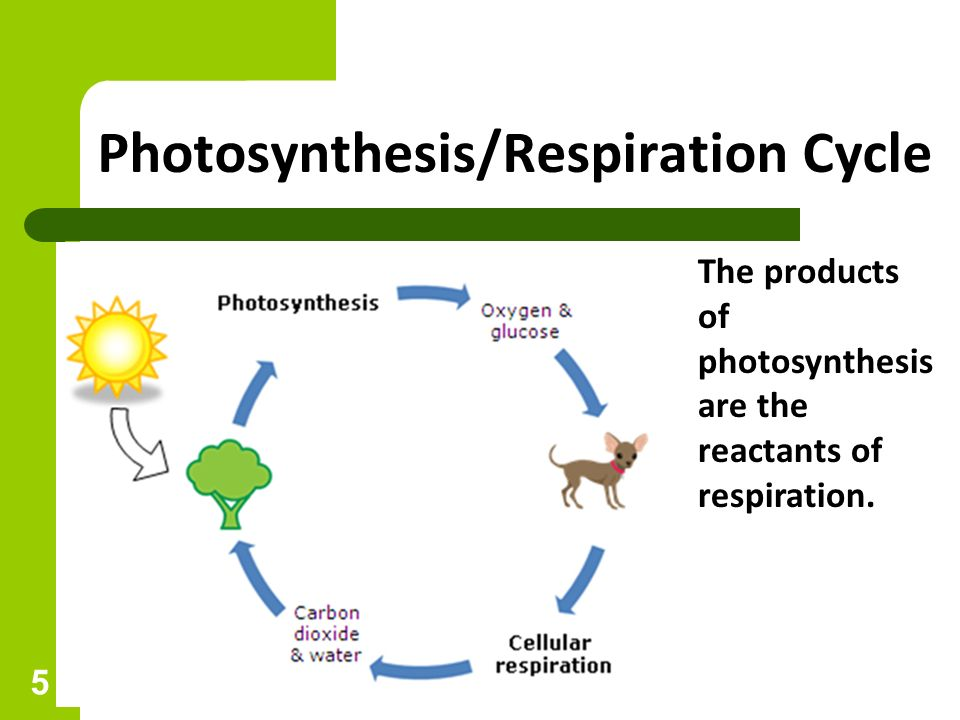 Photosynthesis and respiration unit2 ip essay academic writing service photosynthesis and respiration unit2 ip chapter test practice photosynthesis b cellular respiration c ccuart Image collections