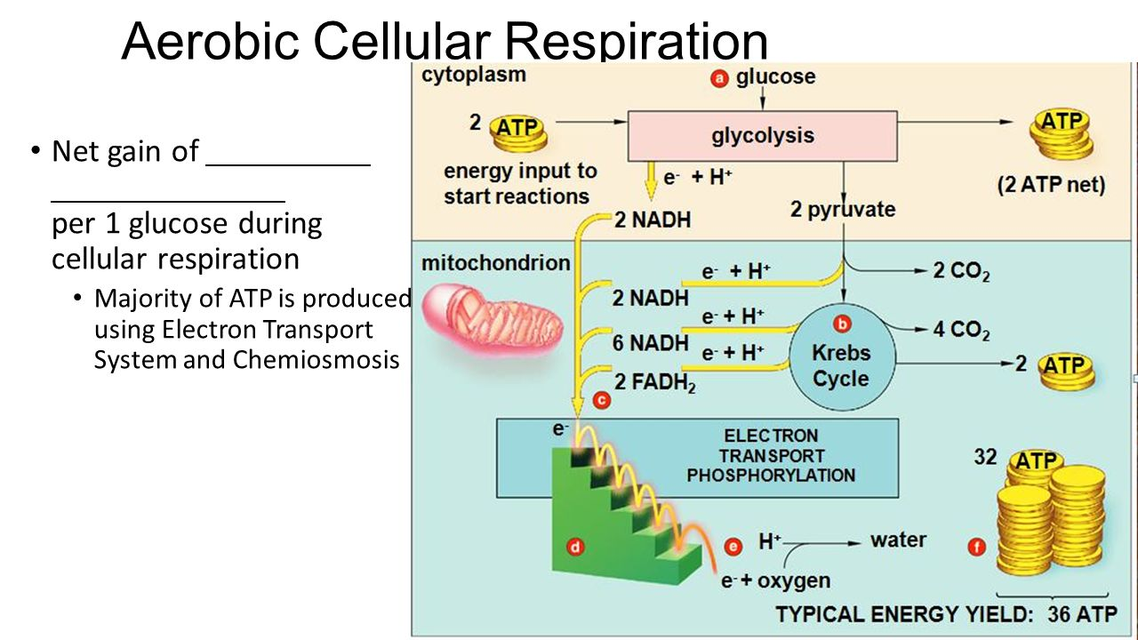 Photosynthesis and aerobic respiration term paper service photosynthesis and aerobic respiration ccuart Choice Image