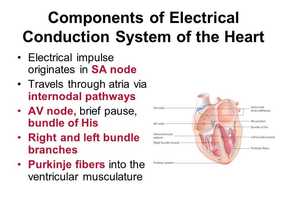 Conduction system of the heart and