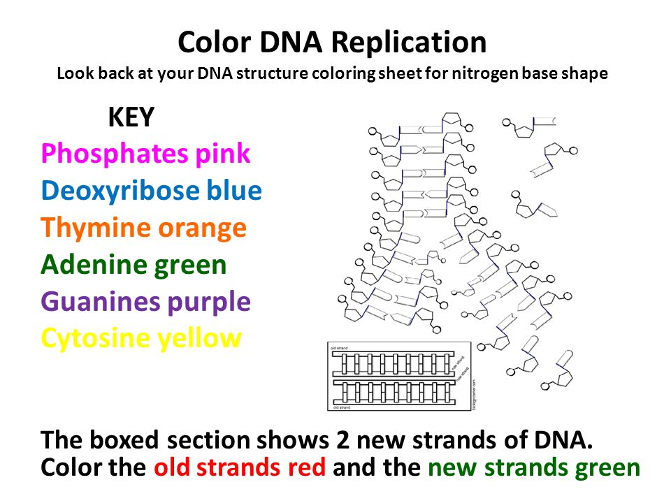 THE ROLES OF DNA.  ppt video online download