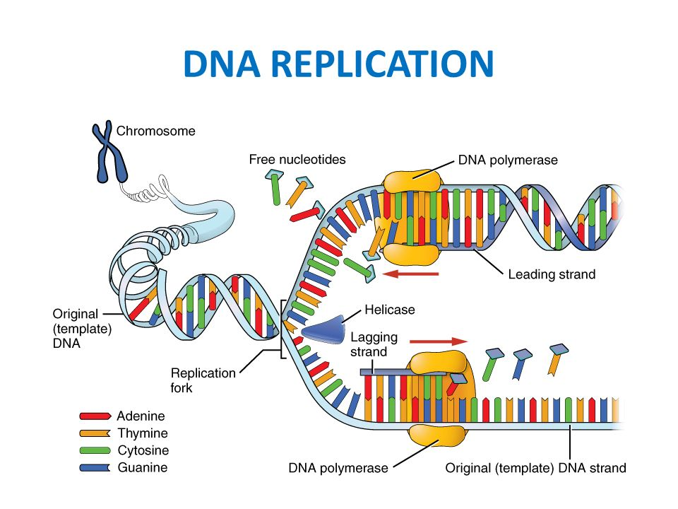 Dna structure and replication section review answer key
