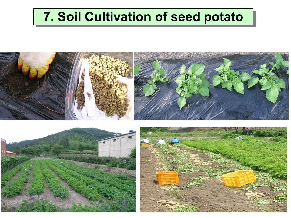 thesis on micropropagation of potato The potato is one of the world's most economically important crop plants  subjecting the plant to a period of thermotherapy followed by meristem culture  now.