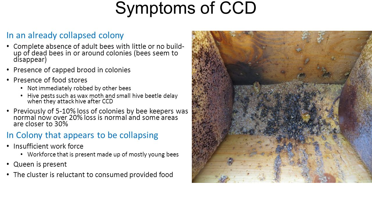a study of colony collapse disorder or ccd There is no link between our tiny little study and the ccd questions and answers: colony collapse disorder ars news about ccd colony collapse disorder:.