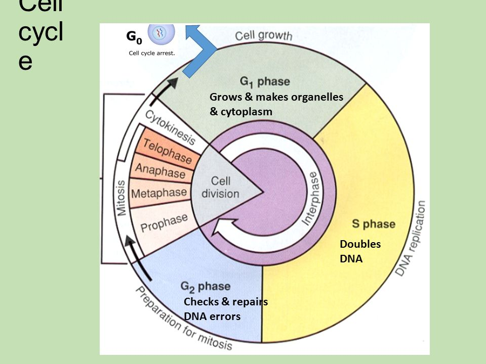 Cell cycle and mitosis worksheet pdf