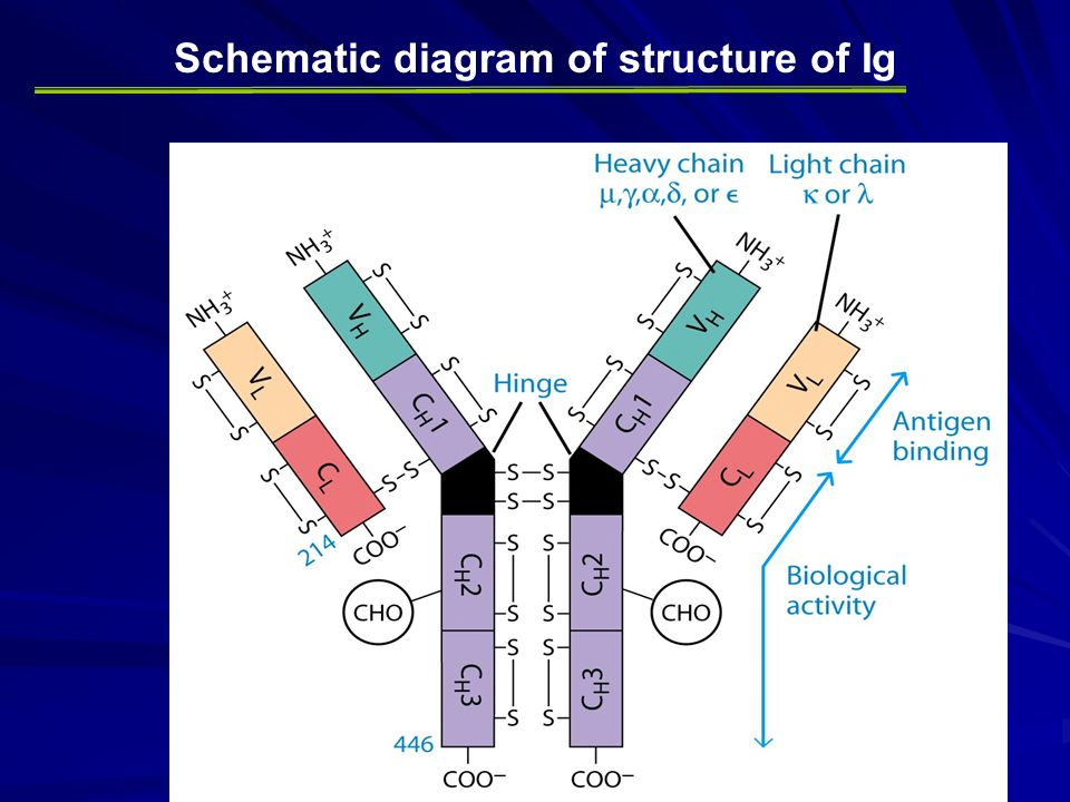 immunoglobulins structure