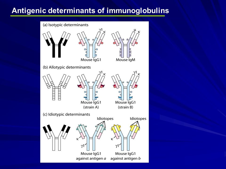 introduction to immunoglobulins structure and research Genmab - introduction to antibodies this website uses cookies to collect statistical information on the use of our website with the goal of improving user experience.