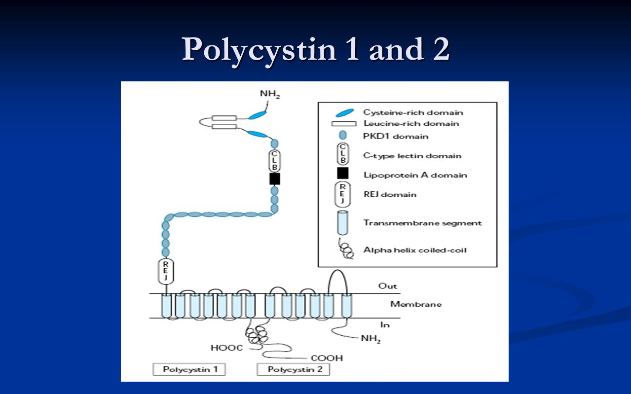 Polycystin 1 and 2 Shows integral membrane protein (didn't stress this)