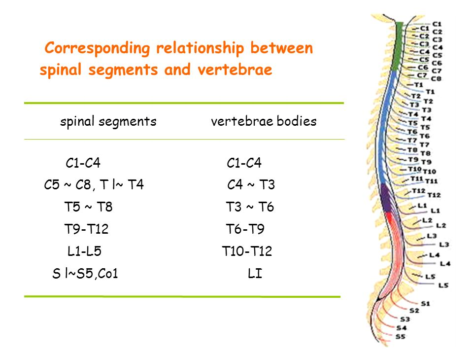 relationship of spinal nerve to the cord segments