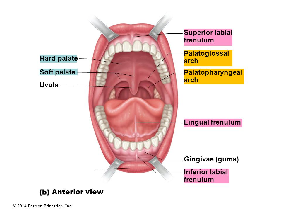 Muscle That Forms Floor Of Mouth The Digestive System In