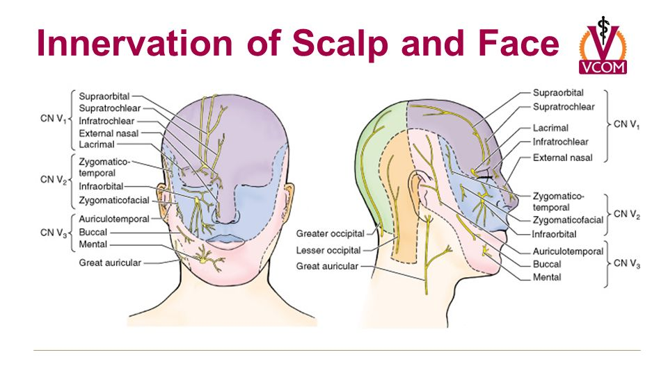 Greater Occipital Nerve Anatomy Gallery - human body anatomy
