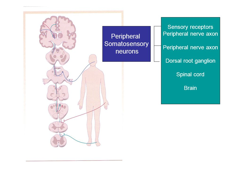 Somatosensory system. - ppt download