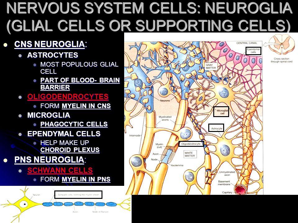 Nerve Tissue & The Nervous System - ppt download