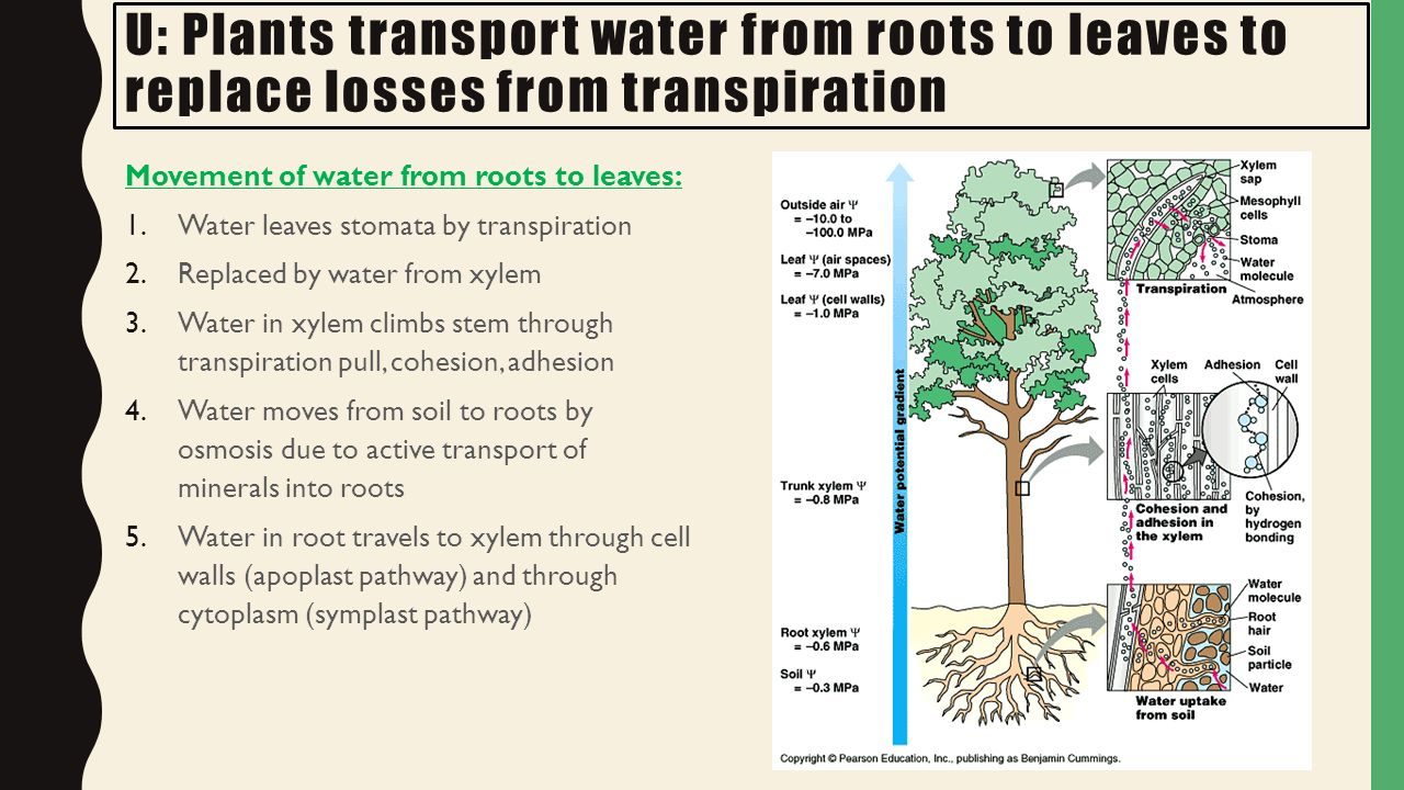 the pathways of plant water movement Transport of materials in a flowering plant upward movement of water within the plant there are 2 processes that enable the water to move up a plant.