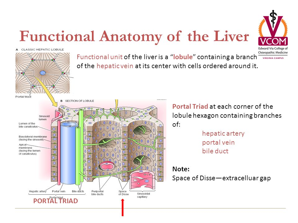Liver: Transport and Metabolic Functions I - ppt download Portal Triad Anatomy