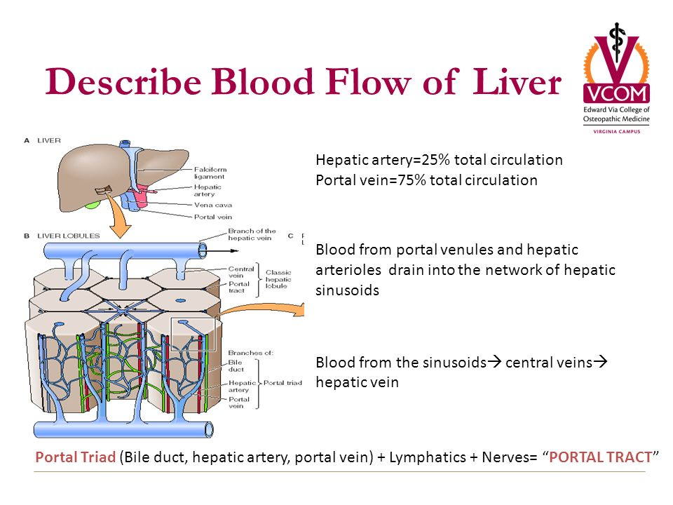 blood flow to the liver Blood flow in the unborn baby follows this pathway: oxygen and nutrients from the mother's blood are transferred across the placenta to the fetus through the umbilical cord this enriched blood flows through the umbilical vein toward the baby's liver.