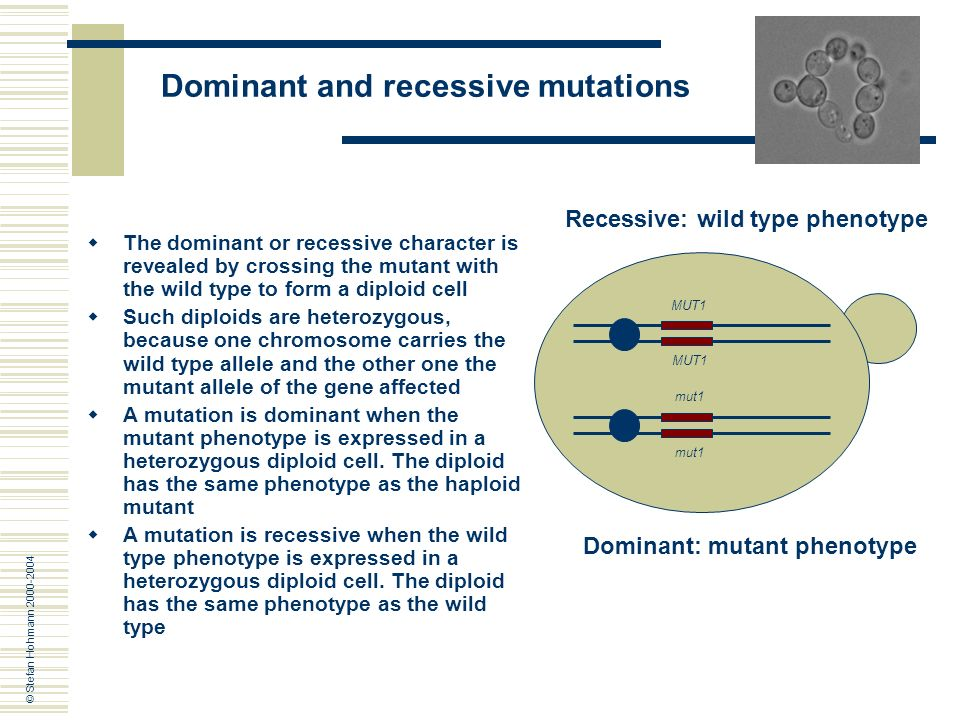 wild type versus mutant yeast cells Wild type yeast cells versus mutant yeast cells biology essay the barm used  in this experiment is s cerevisiae verprolin protein which encoded by vrp1 is.