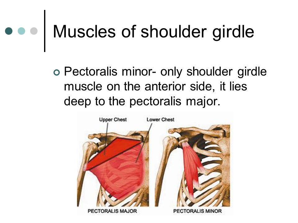 Tensor Fascia Lata furthermore Screen Shot At Pm together with Soleus as well Screen Shot At Am as well Adductor Longus Resized. on pectoralis minor muscle