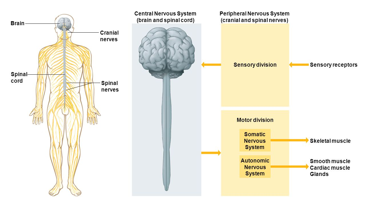Nervous system chapters 9 10 ppt video online download central nervous system brain and spinal cord pooptronica Images
