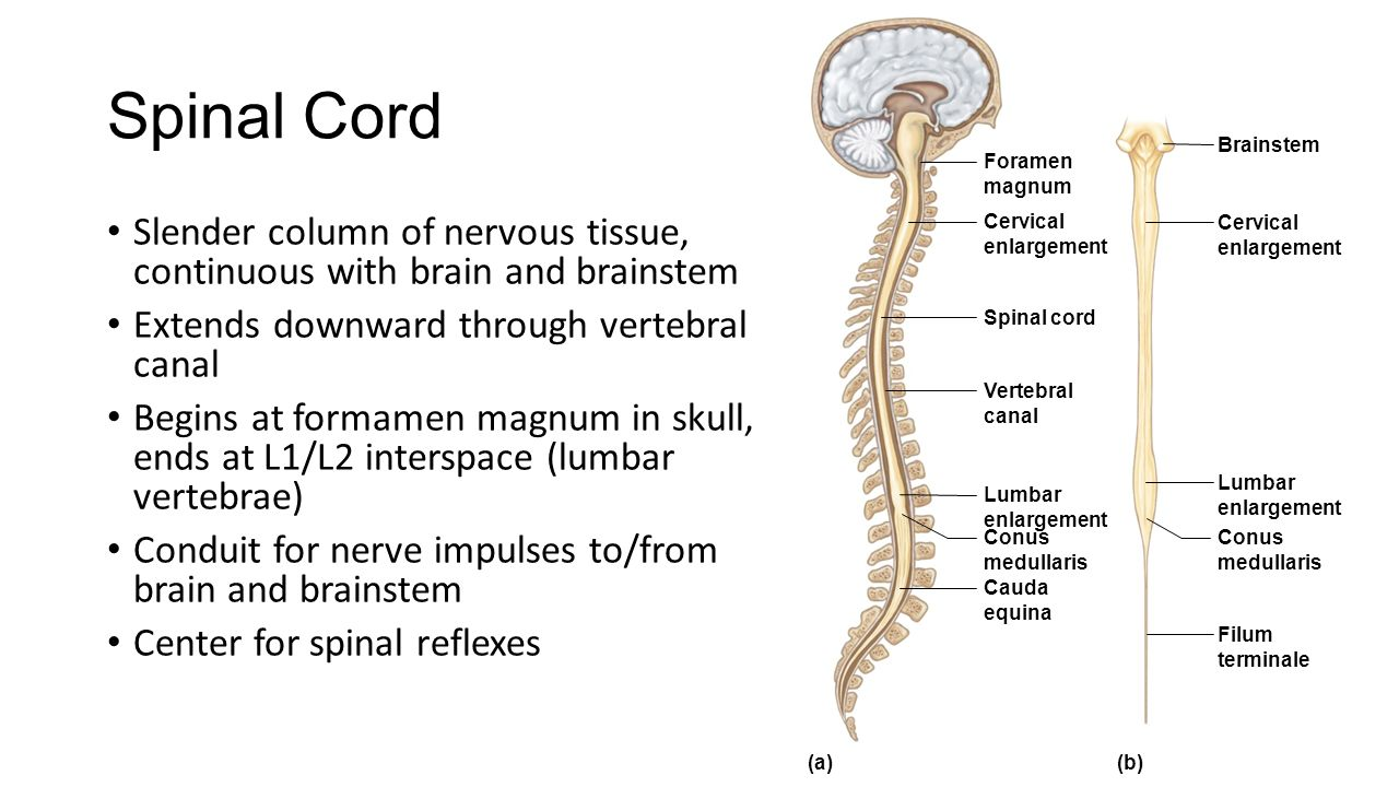 Nervous System (Chapters 9 & 10). - ppt video online download Brainstem And Spinal Cord