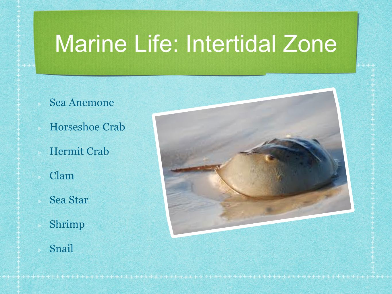 Marine Life: Intertidal Zone