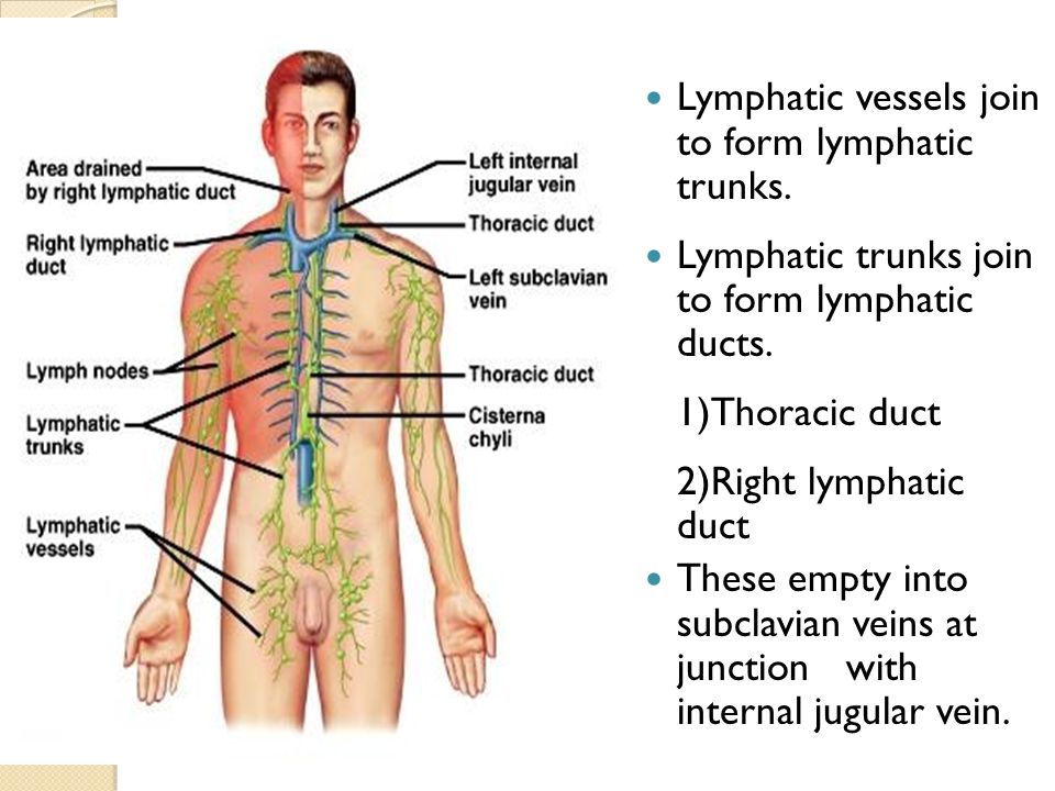 Trachea And Thoracic Duct Ppt Video Online Download