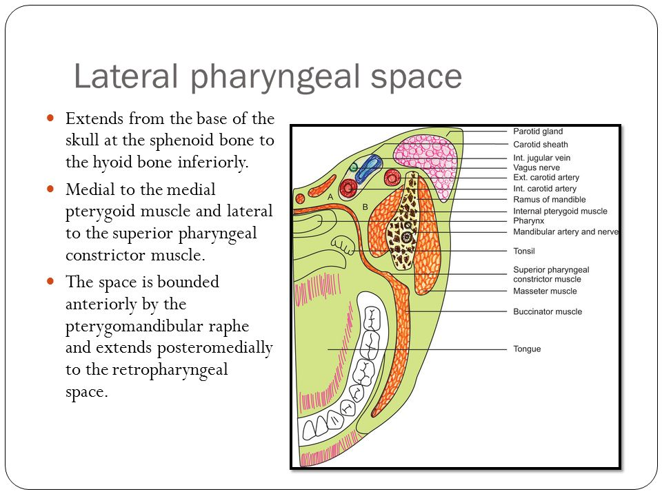 Parapharyngeal Space Boundaries - ma