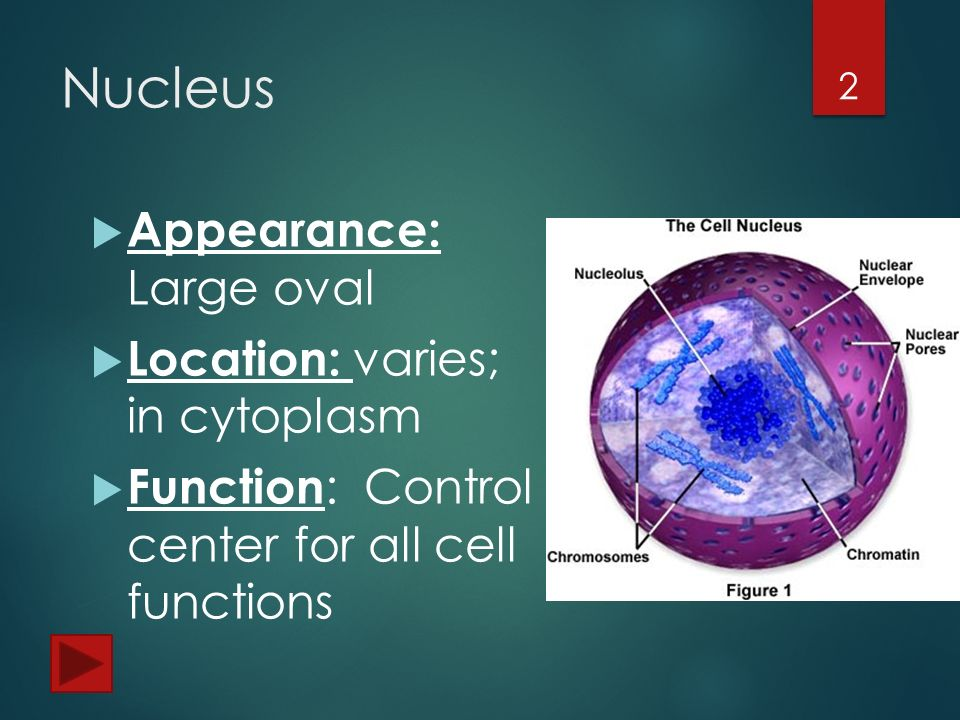 organelles of the cell. - ppt video online download, Human Body