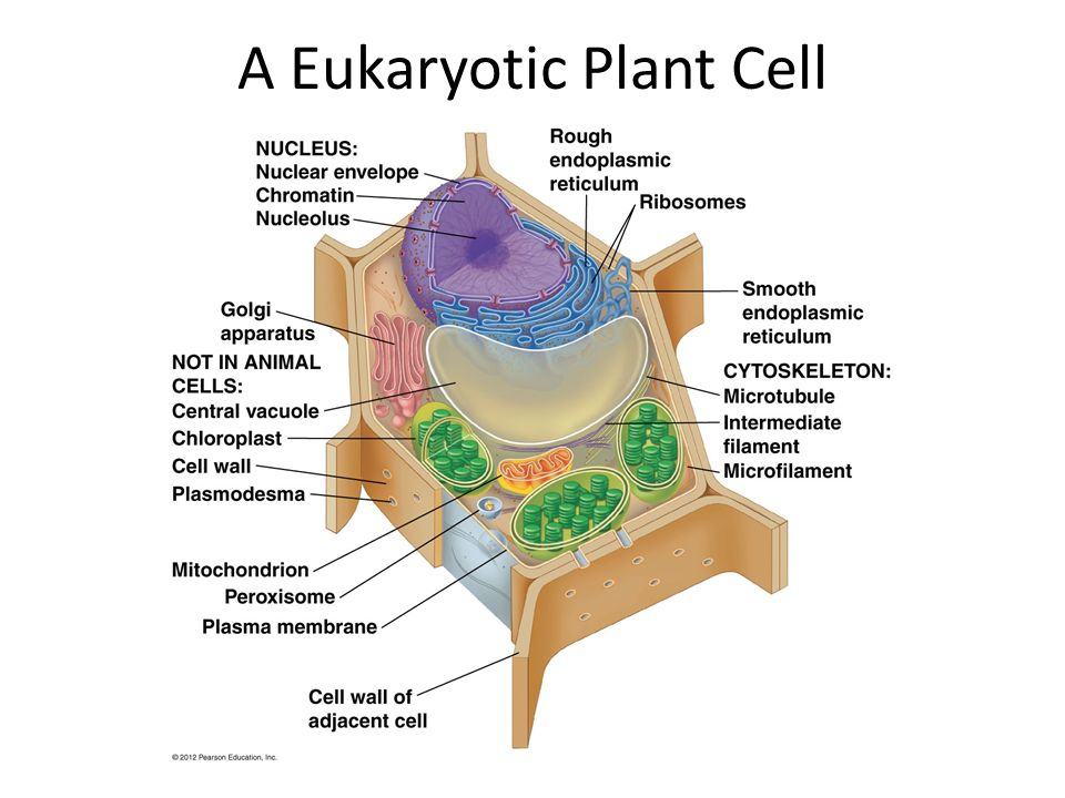 eukaryotic plant cell - photo #4